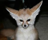 Fennec Fox For Sale