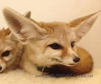 Fennec Fox Pups For Sale