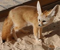 fennec fox for saleyoung breeder fennec fox pairs available