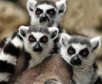 Lemurs for sale