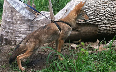 Coyote Dog Puppies For Sale