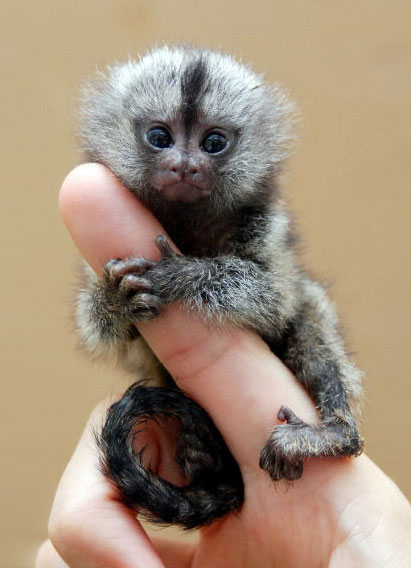 Finger Monkey