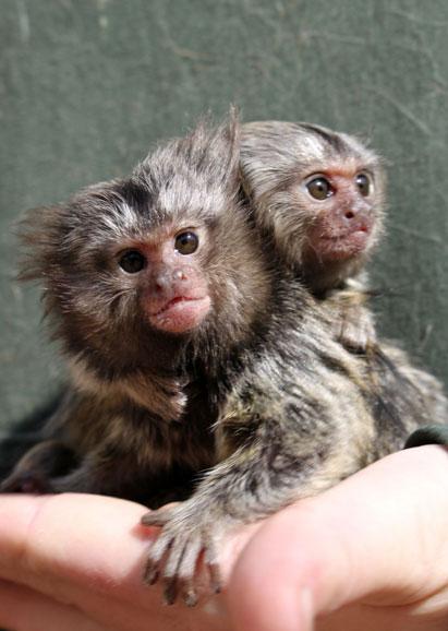 Finger Monkey for Sale