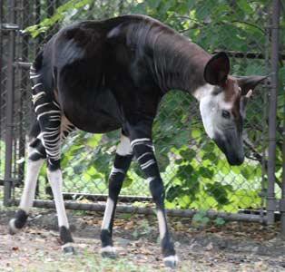 Okapi For Sale