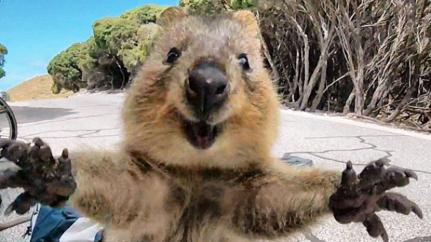 Quokka For Sale