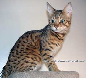 Savannah F Cat For Sale Florida