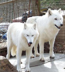 Wolf hybrid puppies for sale california