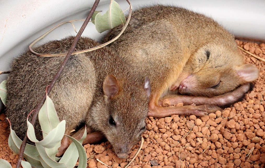 Bettongs as Pets
