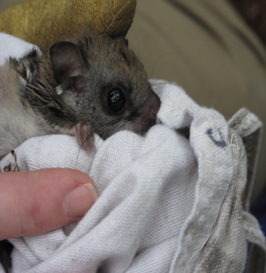 Pet flying squirrel