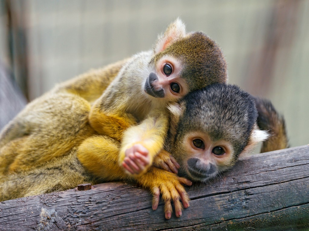 States Where Pet Monkeys Are Legal (2018)