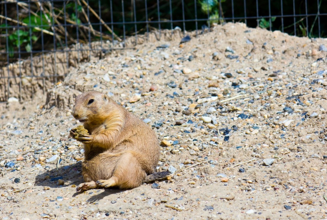 Pet Prairie Dog Care Feeding Legality And Natural History