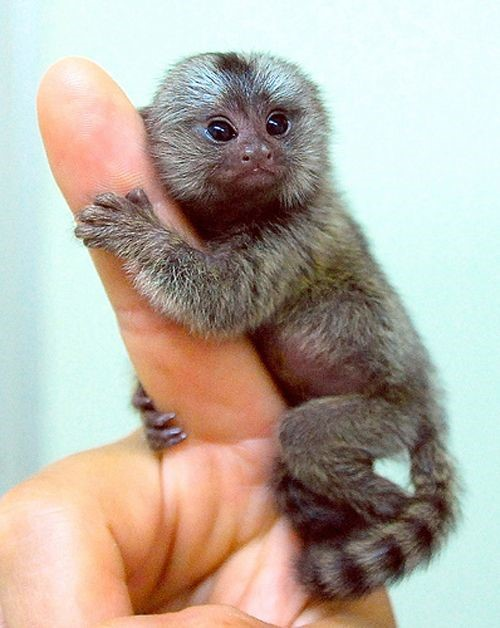 What is a finger monkey and are they legal as pets silk knoll cc by 20 via flickr voltagebd Choice Image