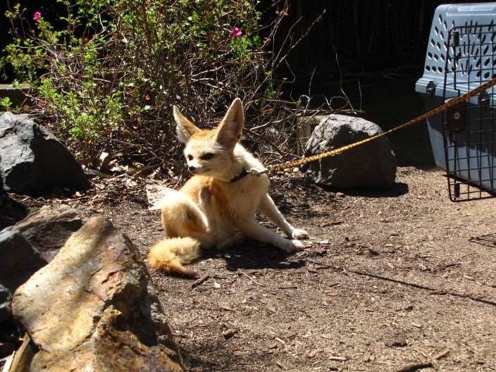 Pet Fennec Fox Legal States And Care Information