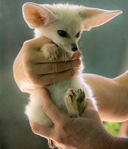 pet animals fox aye fennec ayes exotic exoticanimalsforsale legal care states information
