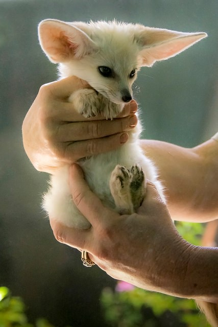 Pet Fennec Fox