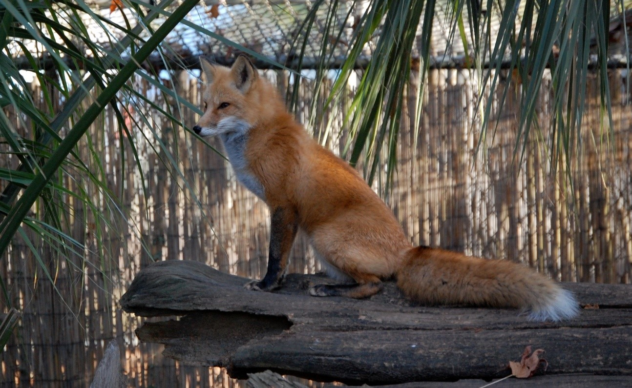 Pet Red Fox