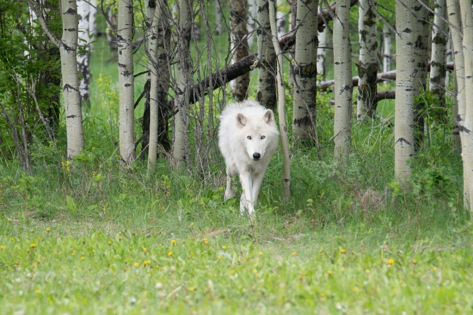 Buying a Wolf Puppy: Care, Legality, and Differences from Dogs