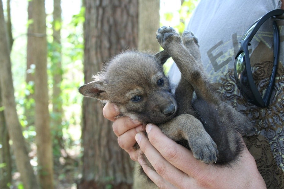 Wolf Puppy For Sale