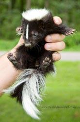 Skunks for sale