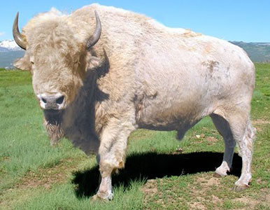 American Bison For Sale