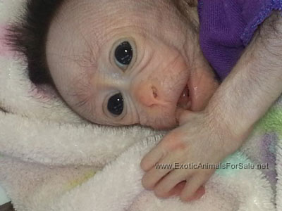 Bonnet Macaque Baby