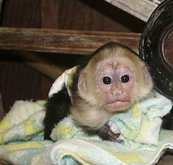 Capuchin Monkeys For Sale dc1e3a485ab4