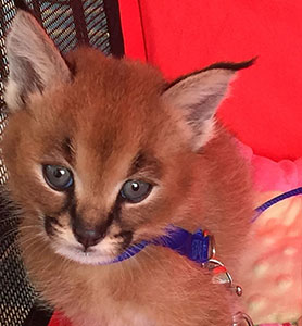 Caracals for Sale