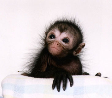 Cute Spider Monkey