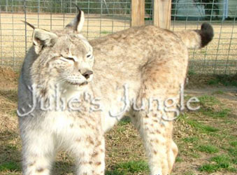 Caracal Cats For Sale In Ohio
