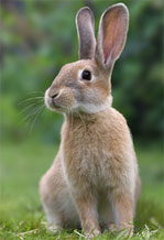 Rabbit with long ears