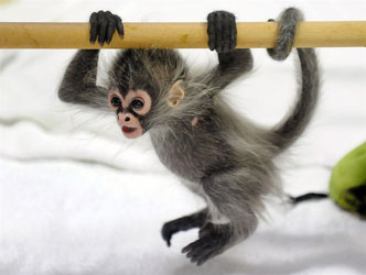 Spider Monkeys for sale