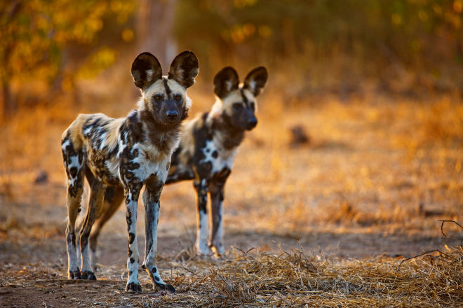 African Wild Dogs For Sale