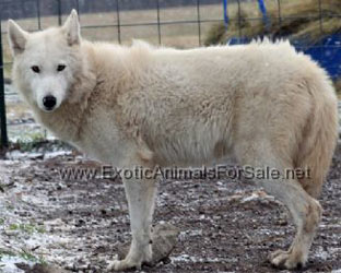 Dog Breed With Wolf In The Name