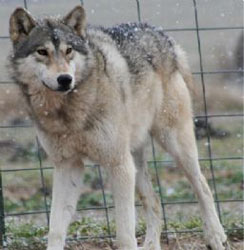 Wolf Dogs For Sale In Ohio